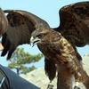 Falconry Experience With Lunch
