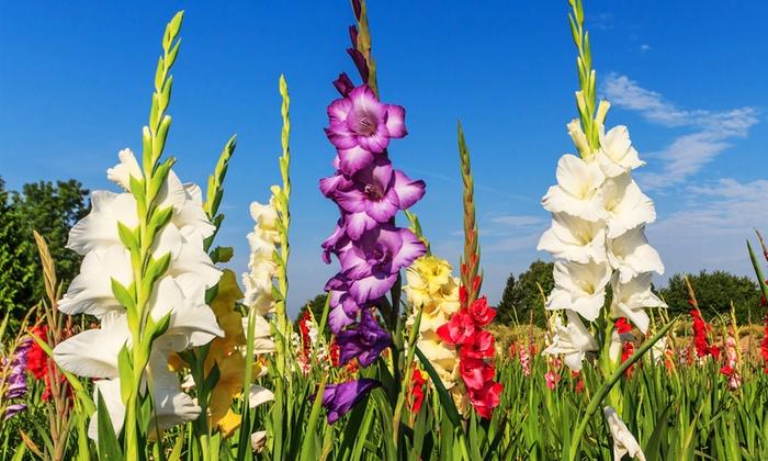 Perennial flower pictures savingourboysfo live perennial flower bulb sets groupon goods natural flower mightylinksfo