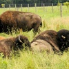 Up to Half Off Bison-Ranch Tours