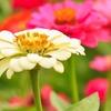 The Dirty Gardener California Giant Zinnia Elegans Flower Mix Seeds