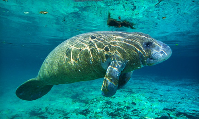 Adventure Diving - Crystal River: Three-Hour Manatee Tour for One or Two from Adventure Diving in Crystal River (Up to 55% Off)