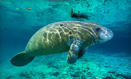 Guided 3-Hour Manatee Tour for 1 (a $55 value) - Adventure Diving in Crystal River