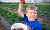 Lane Southern Orchards - Fort Valley: $13 for 10 Pounds of Pick-Your-Own Fresh Strawberries at Lane Southern Orchards in Ft. Valley ($27.50 Value)