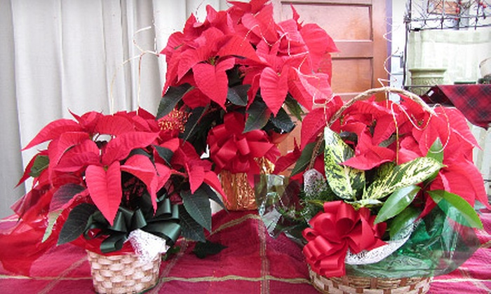 Plant Farm - Spokane Valley: $10 for Choice of Holiday-Poinsettia Plant Package at Plant Farm (Up to $22.99 Value)