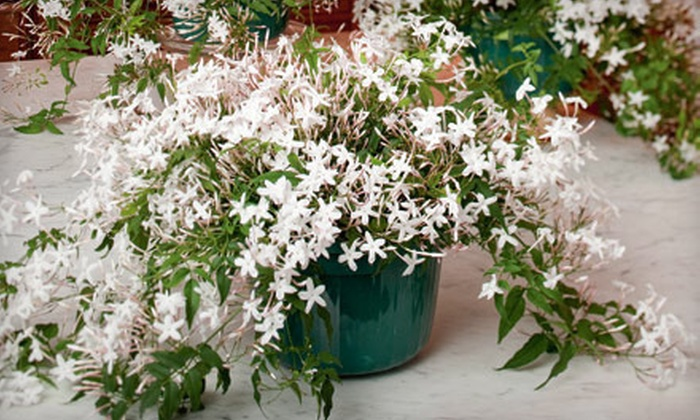 White Flower Farm: $31 for a Potted Jasmine Plant with Delivery from White Flower Farm ($63.95 Value)