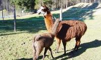 Visite de la ferme et balade de 2h avec les lamas pour 1 ou 2 personnes dès 13,50 € chez Charbo Loisirs