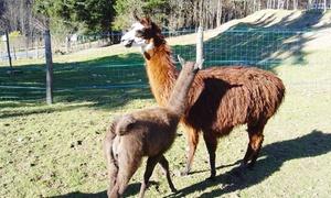 Charbo Loisirs: Visite de la ferme et balade de 2h avec les lamas pour 1 ou 2 personnes dès 13,50 € chez Charbo Loisirs