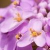 Candytuft Dwarf Fairy Flower Mix Seeds (200-Pack)