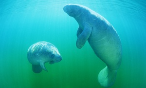 Manatee Tour and Dive Ocala: $30 for a Manatee Tour & Snorkel-Equipment Rental for One Adult from Manatee Tour and Snorkel ($49 Value)