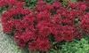 Pre-Order: Red Creeping Sedum Bareroot Plants (5-Pack)