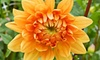 Wollam Gardens - Jefferson: Dahlia Festival for Two or Four on Saturday, September 21 and Sunday, September 22 at Wollam Gardens (Up to Half Off)