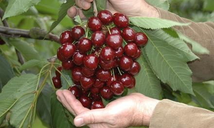 Bare Root Stella Cherry Tree