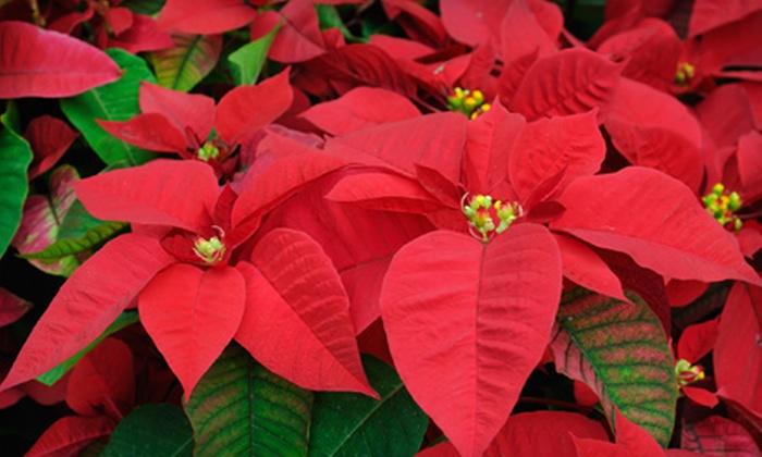 Aesthetic Plant Specialists - Southwest Fort Wayne: $29 for a Large 24-Inch Red Holiday Poinsettia at Aesthetic Plant Specialists ($60 Value)