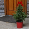 Live Black Hills Spruce Tree with Container and Ribbon