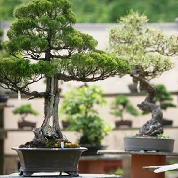 Bonsai West In Littleton Massachusetts Groupon