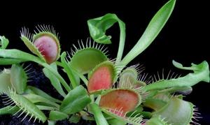 Carnivorous Plants (3-pack)
