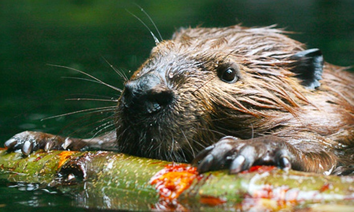 The Association for the Protection of Fur-Bearing Animals - Vancouver: If G-Team Members Donate a Total of $300, Then  Nonlethal Beaver-Exclusion Fencing Can Be Installed on Bowen Island