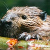 (G-Team) The Association for the Protection of Fur-Bearing Animals: If G-Team Members Donate a Total of $300, Then  Nonlethal Beaver-Exclusion Fencing Can Be Installed on Bowen Island