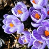 Pre-Order Spring Blooming Crocus, Hyacinth Bulbs, and More