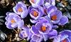 Hollands Premium Bulbs: Pre-Order Spring Blooming Crocus, Hyacinth Bulbs, and More