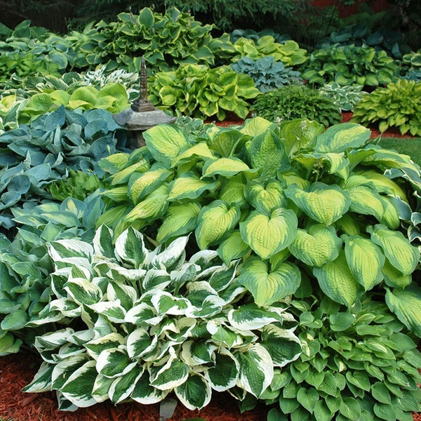 Hosta Bare Root Plants 9 Pc Groupon Goods