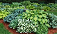 Hosta Fragrant Upright Bare Root Plant Mix (9-Plants)