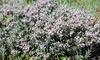 Arbusti di Andromeda Polifolia