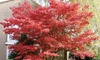 Pre-Order: Red-Leaved Japanese Maple Tree 3'–4' Bare Root Plant: Pre-Order: Red-Leaved Japanese Maple Tree 3'–4' Bare Root Plant