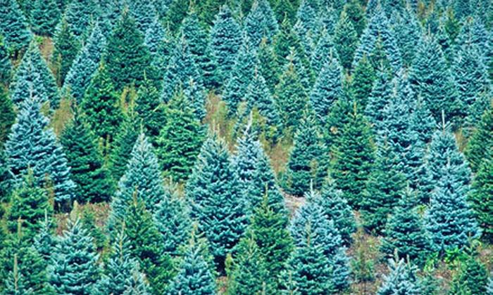 Mountain Pines Christmas Tree Farm - San Juan Capistrano: Natural Christmas Trees at Mountain Pines Christmas Tree Farm (Up to 51% Off). Two Options Available.