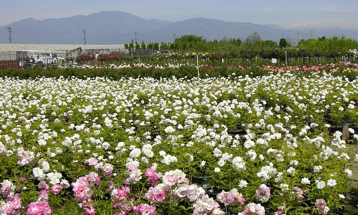 Garden View Wholesale Nursery - Irwindale: Plants, Shrubs, and Trees at Garden View Wholesale Nursery (50% Off). Two Options Available.