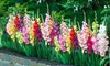 Giant Gladiolus Mixed Bulbs (40-, 80-, or 200-Pack with Bulb Planter)
