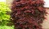 Érables palmés acer palmatum