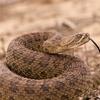 50% Off Rattlesnake-Avoidance Dog Training
