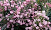 "1 o 2 arbusti di Andromeda Polifolia ""Blue Ice"""