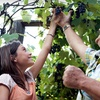 Half Off You-Pick Grapes in Live Oak