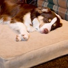 $36 for a Double-Sided Orthopedic Pet Bed