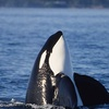 Up to 51% Off Orca-Watching Tour