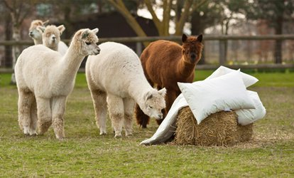image for Alpaca Trek For Two or Four at Alpaca Annie (52% Off)