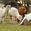 Alpaca Trek For Two