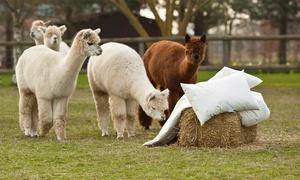 Alpaca Annie: Alpaca Trek For Two or Four at Alpaca Annie (52% Off)