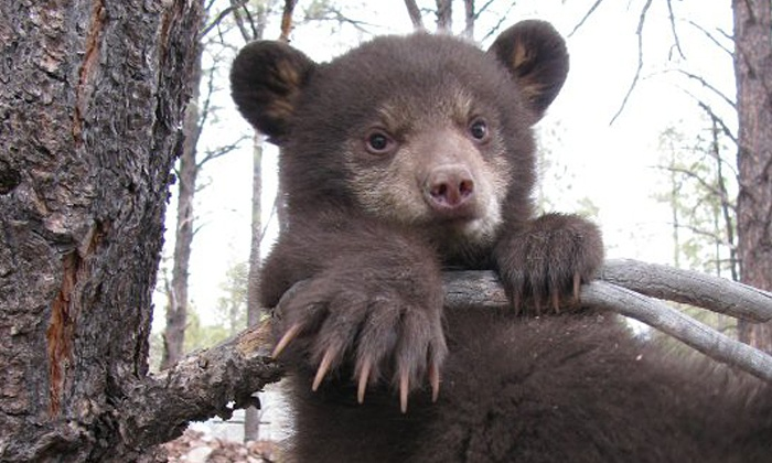 Bearizona - Bearizona: Visit for Two Children or Two Adults to Drive-Thru Wildlife-Park at Bearizona (Up to 38% Off)