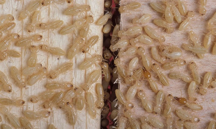 Anteater - Phoenix: Complete-Home Termite Inspection from Anteater Exterminating (29% Off)