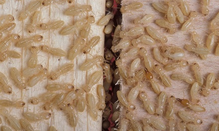 Complete-Home Termite Inspection from Anteater Exterminating (29% Off)