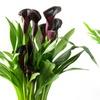 "Halloween Black Calla Lily Plant in 6"" Grow Pot"