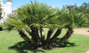 Palmiers nains Vulcano 45-55cm