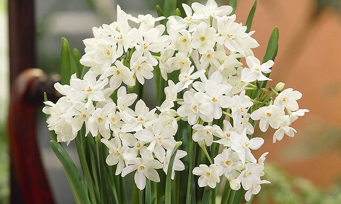 Paper White Flower Bulbs 10 Count Groupon