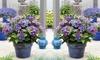 Hydrangea Black Diamonds Angel Blue 10.5 cm Pot- 1, 2 or 3 Plants