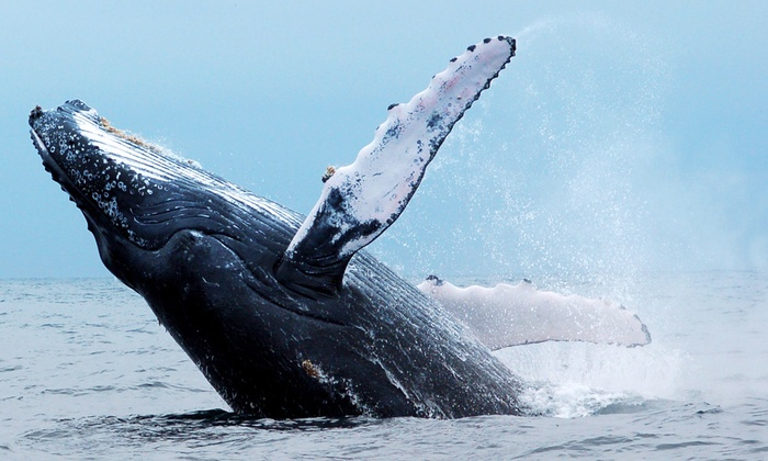 Pacific Nature Tours - Mission Bay Park: 9-Mile Bank Whale Watching Cruise for One, Two, or Four from Pacific Nature Tours (Up to 42% Off)