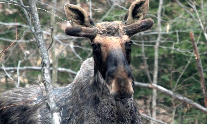 Toronto Adventures Inc. - Multiple Locations: Moose-Viewing Algonquin Park Adventure Bus Day Trip for One or Two from Toronto Adventures Inc. (Up to 27% Off)