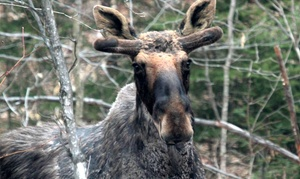 Toronto Adventures Inc.: Moose-Viewing Algonquin Park Adventure Bus Day Trip for One or Two from Toronto Adventures Inc. (Up to 27% Off)